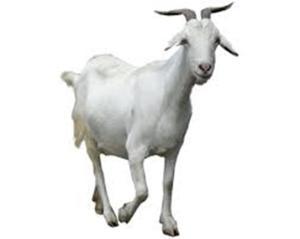 Lamb / Meat