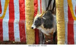 Bull getting out of the vaadi vasal to the ground
