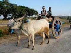 Bulls drawing the cart