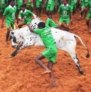 JalliKattu - Tamilian Sport
