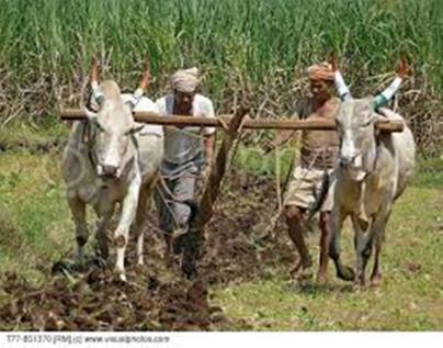 Bulls in ploughing the field