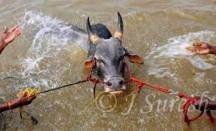 Making the bull swim, to strengthen its leg