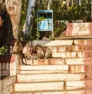 Antara Gangae - Sleeping Monkeys